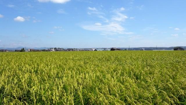 日本酒に使用する酒造好適米の山田錦の田んぼの画像