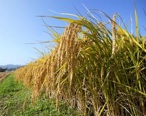 雄町米の画像